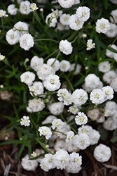 Peter Cottontail Yarrow (Achillea ptarmica 'Peter Cottontail') at Valley View Farms