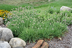 Medusa Ornamental Onion (Allium 'Medusa') at Valley View Farms