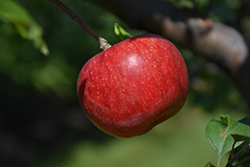 Wolf River Apple (Malus 'Wolf River') at Valley View Farms