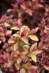 Double Play Doozie® Spirea (Spiraea 'NCSX2') at Valley View Farms