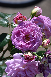 Arctic Blue™ Rose (Rosa 'WEKblufytirar') at Valley View Farms