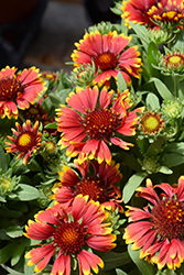 Spintop Orange Halo Blanket Flower (Gaillardia aristata 'Spintop Orange Halo') at Valley View Farms