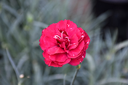 Devon Cottage™ Ruby's Tuesday Pinks (Dianthus 'Valda Kitty') at Valley View Farms