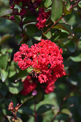 Princess Zoey™ Crapemyrtle (Lagerstroemia 'GA 0702') at Valley View Farms