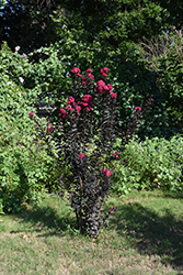 Black Diamond® Mystic Magenta™ Crapemyrtle (Lagerstroemia indica 'Black Diamond Mystic Magenta') at Valley View Farms