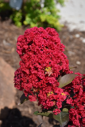 Double Dynamite® Crapemyrtle (Lagerstroemia indica 'Whit X') at Valley View Farms