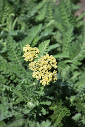 Sassy Summer Lemon Yarrow (Achillea 'Sassy Summer Lemon') at Valley View Farms