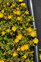 Delmara™ Yellow Ice Plant (Delosperma 'Delmara Yellow') at Valley View Farms